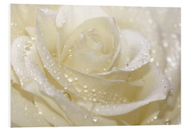 Foam board print  White rose with drops - Atteloi