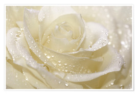 Premium poster White rose with drops