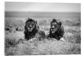 Acrylic print  Two lion kings - Nicolás Merino