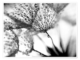 Premium poster Dandelion Dew in Black and White