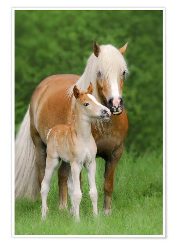 Haflinger Horse Foal With Mum Posters And Prints