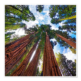 Premium poster  giant Sequoia - Michael Rucker