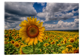 Acrylic print  King of Sunflowers - Achim Thomae