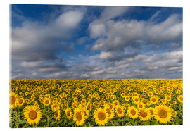 Acrylic print  Sea of Sunflowers - Achim Thomae