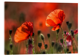 Acrylic print  Poppies in Provence - Christian Müringer