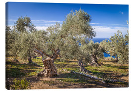 Canvas  Ancient olive trees in Mallorca (Spain) - Christian Müringer