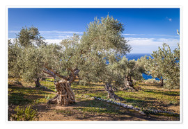 Premium poster Ancient olive trees in Mallorca (Spain)