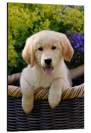 Aluminium print  Cute Golden Retriever Puppy - Katho Menden