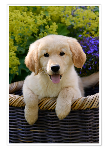 Cute Golden Retriever Puppy Poster Posters And Prints Posterloungecom