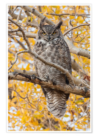 Premium poster  Great Horned Owl in a poplar - Elizabeth Boehm