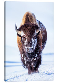 Canvas print  Wandering bison in the Hayden valley - Elizabeth Boehm
