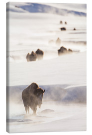 Canvas print  Bison herd in the snow - Elizabeth Boehm