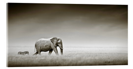 Acrylic print  Elephant walking past zebra size comparison - Johan Swanepoel