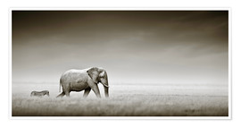 Premium poster  Elephant walking past zebra size comparison - Johan Swanepoel