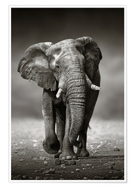Premium poster  Elephant bull approaching - Johan Swanepoel