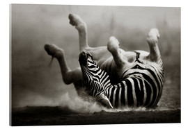 Acrylic glass  Zebra rolling upside down on dusty desert sand - Johan Swanepoel