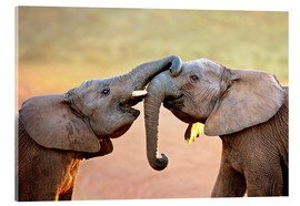 Acrylic print  Two elephants interact gently with trunks - Johan Swanepoel