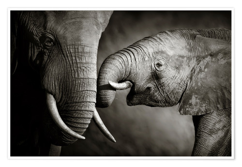 Premium poster Baby elephant interacting with Mother