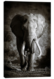 Canvas  Elephant with huge tusks approaching - Johan Swanepoel