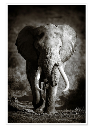 Premium poster Elephant with huge tusks approaching