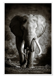 Premium poster  Elephant with huge tusks approaching - Johan Swanepoel
