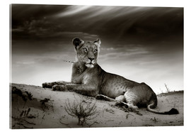 Acrylic print  Lioness resting on top of a sand dune - Johan Swanepoel