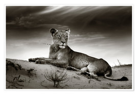 Premium poster  Lioness resting on top of a sand dune - Johan Swanepoel