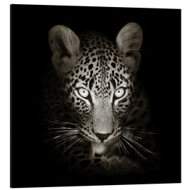 Aluminium print  Leopard portrait licking it's paw - Johan Swanepoel