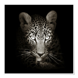 Premium poster  Leopard portrait licking it's paw - Johan Swanepoel