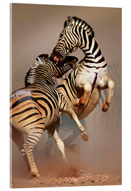 Acrylic print  Two Stallions fighting and biting with raised legs - Johan Swanepoel