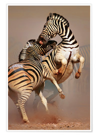 Premium poster Two Stallions fighting and biting with raised legs