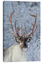 Canvas  reindeer