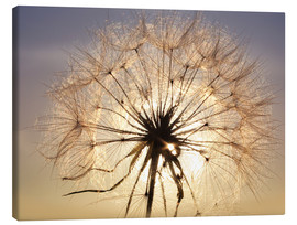Canvas print  Dandelion in sunlight
