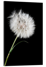 Acrylic print  the big white dandelion