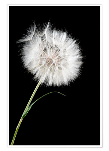 Premium poster the big white dandelion