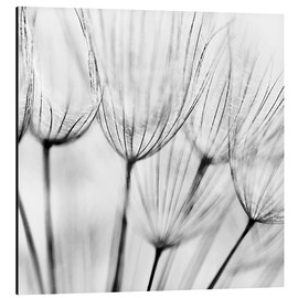 Aluminium print  Black and white dandelion