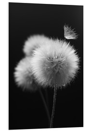 Foam board print  Fluffy dandelions close-up