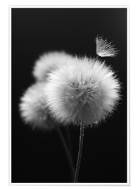 Premium poster Fluffy dandelions close-up