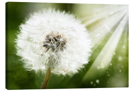 Canvas print  dandelion flower in sun beam