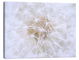 Canvas print  Dandelion - white as snow