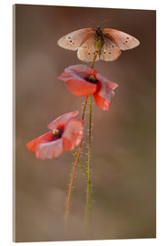 Acrylic print  Butterfly on poppy flower - Jaroslaw Blaminsky