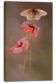 Canvas  Butterfly on poppy flower - Jaroslaw Blaminsky