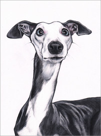 Acrylic print  Whippet, blue and white - Jim Griffiths
