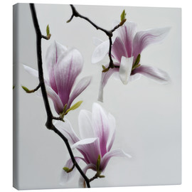 Canvas print  Magnolias - Claudia Moeckel