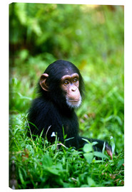 Canvas print  Chimpanzee in the jungle