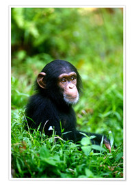 Premium poster  Chimpanzee in the jungle