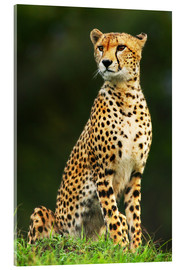 Acrylic print  Portrait of an African Cheetah