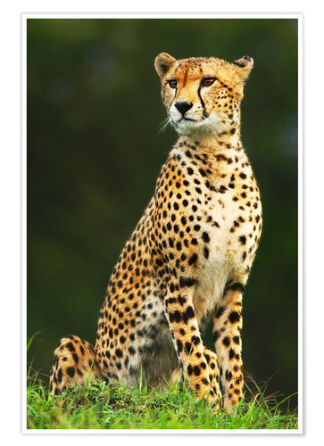 Premium poster Portrait of an African Cheetah