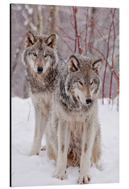 Aluminium print  Wolf couple in snow