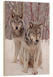 Wood print  Wolf couple in snow